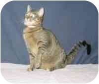 Domestic Shorthair Cat for Sale in Powell, Ohio - Bryann