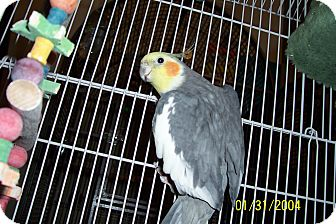 Cockatiel for Sale in Lexington, Georgia - Sanford