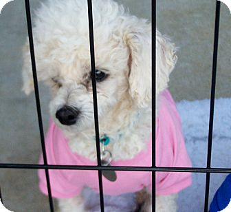 Poodle (Toy or Tea Cup) Mix Dog for Sale in Greensboro, Georgia - Angel