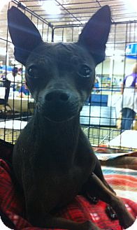 Rat Terrier Mix Dog for adption in Gainesville, Florida - MJ