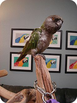 Poicephalus (including Senegal and Meyer's) for Sale in Redlands, California - Queso