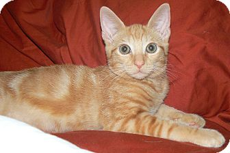 Domestic Shorthair Cat for adoption in Apex, North Carolina - Dobby