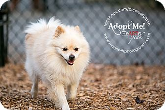 Pomeranian Dog for Sale in Myersville, Maryland - Johnny