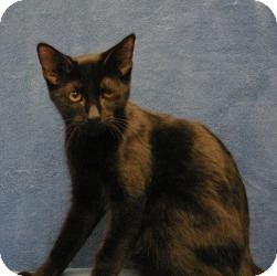 Domestic Shorthair Cat for Sale in Sacramento, California - Alan