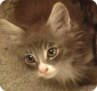 Domestic Mediumhair Kitten for Sale in Los Angeles, California - Andy- tiny fluffy lion face