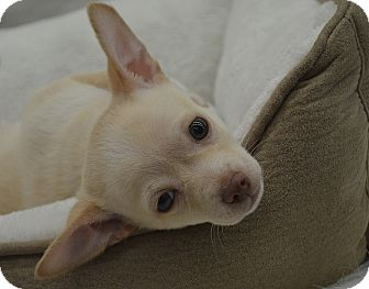 Chihuahua Mix Puppy for Sale in Bridgeton, Missouri - Lennon