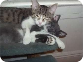 American Shorthair Cat for Sale in douglaston, New York - LOOKIN 4  2 GREAT BOYS
