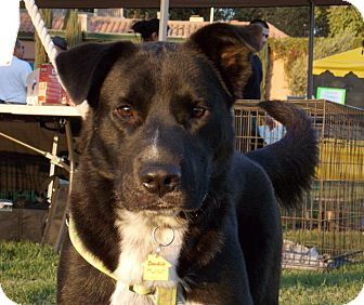 Border Collie/Shepherd (Unknown Type) Mix Dog for adption in Fresno, California - Bandit
