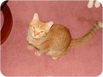 Domestic Shorthair Cat for Sale in Spotsylvania, Virginia - Ranger