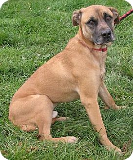 Shepherd (Unknown Type)/Mastiff Mix Dog for Sale in Lisbon, Ohio - Matt