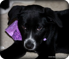 Australian Shepherd/Labrador Retriever Mix Puppy for Sale in Marlton, New Jersey - Baby Riley