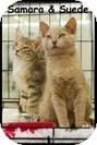 Domestic Shorthair Kitten for Sale in Merrifield, Virginia - Suede & Samara