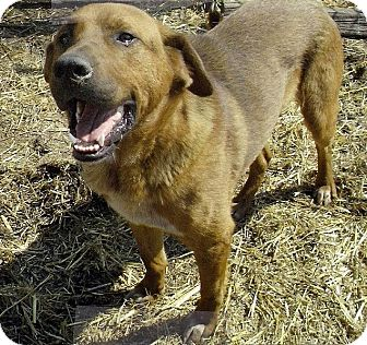 Golden Retriever/Labrador Retriever Mix Dog for adption in Moulton, Alabama - Tipper
