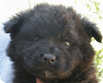 Chow Chow/Golden Retriever Mix Puppy for adption in shelton, Connecticut - Calvados