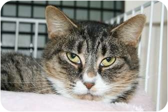 Domestic Shorthair Cat for adoption in Walkersville, Maryland - Polly Anne and Tally Sue
