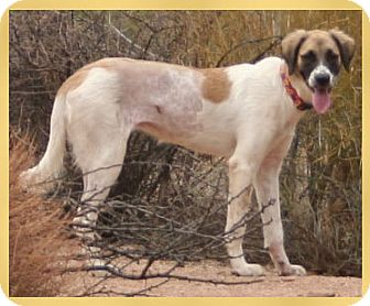 Anatolian Shepherd Mix Dog for adption in Scottsdale, Arizona - Addison