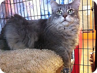 Domestic Longhair Cat for Sale in Topeka, Kansas - Radar