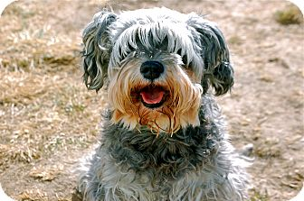 Schnauzer (Miniature) Mix Dog for Sale in Meridian, Idaho - Lizzie