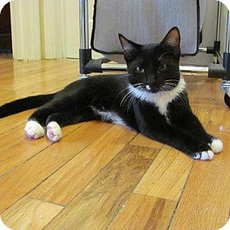 Domestic Shorthair Kitten for Sale in Pittstown, New Jersey - Rambo