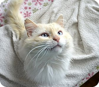 Maine Coon Cat for Sale in Xenia, Ohio - Stewart