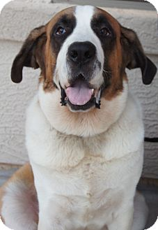 St. Bernard Dog for adption in Gilbert, Arizona - Dolly