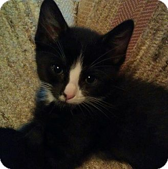 Domestic Shorthair Cat for Sale in Fairbury, Nebraska - Stigman