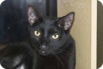 Domestic Shorthair Cat for adoption in Elfers, Florida - Raven