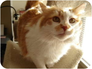 Maine Coon Cat for adoption in Cleveland, Ohio - Rufus