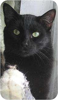 Bombay Cat for adoption in Greenville, North Carolina - Bram