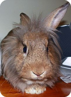 Lionhead Mix for Sale in North Gower, Ontario - Kohei