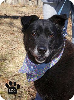 Labrador Retriever Mix Dog for adption in Huntsville, Alabama - Midnight