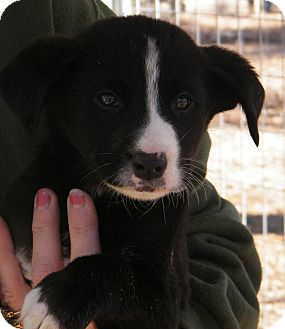 Border Collie Mix Puppy for Sale in manasquam, New Jersey - Adonis