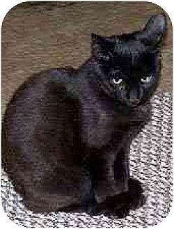 Domestic Shorthair Cat for adoption in Clovis, New Mexico - Juliet