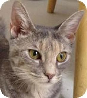 Domestic Shorthair Cat for adoption in Oceanside, New York - Sally