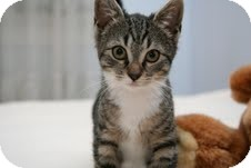 Domestic Shorthair Kitten for Sale in East Brunswick, New Jersey - Ginny