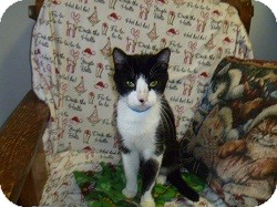 Domestic Shorthair Cat for adoption in Hamburg, New York - Flakes