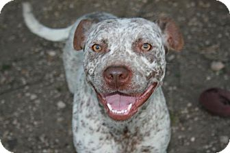 American Pit Bull Terrier Dog for adption in san antonio, Texas - Ambrosia