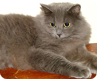 Maine Coon Cat for Sale in Chattanooga, Tennessee - Violet