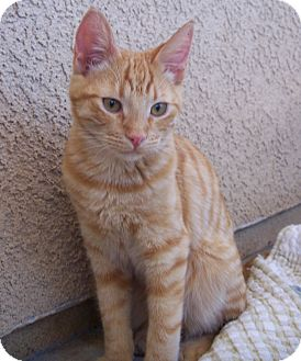 Domestic Shorthair Kitten for Sale in Palmdale, California - Robb
