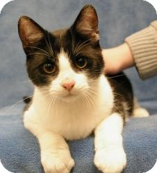 Domestic Shorthair Cat for Sale in Sacramento, California - Eric