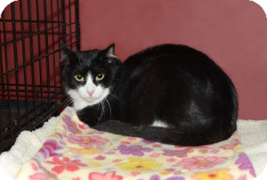 Domestic Shorthair Cat for adoption in Ranch Palos Verdes, California - Moxie
