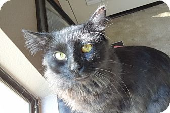Domestic Mediumhair Cat for adoption in Chandler, Arizona - Midnight