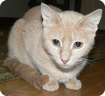 Domestic Shorthair Cat for adoption in Apex, North Carolina - Apricot