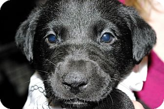 Labrador Retriever Mix Puppy for Sale in Huntsville, Alabama - Opal