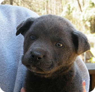 Labrador Retriever Mix Puppy for Sale in shelton, Connecticut - Cruzan