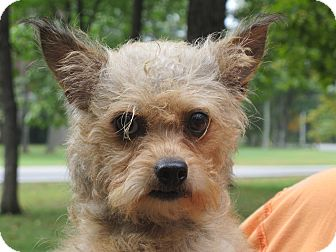 Yorkie, Yorkshire Terrier/Poodle (Toy or Tea Cup) Mix Dog for Sale in Harrisonburg, Virginia - Mindy