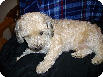 Poodle (Toy or Tea Cup)/Lhasa Apso Mix Dog for Sale in Sheridan, Oregon - Fester