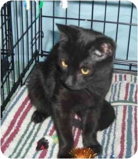 Domestic Shorthair Kitten for Sale in Little Falls, New Jersey - JACK (DS)