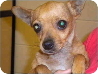 Chihuahua Mix Puppy for adption in Fresno, California - Mercedes