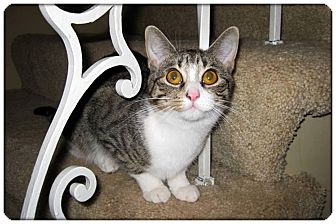 Domestic Shorthair Cat for Sale in Sterling Heights, Michigan - Tigress - ADOPTED!